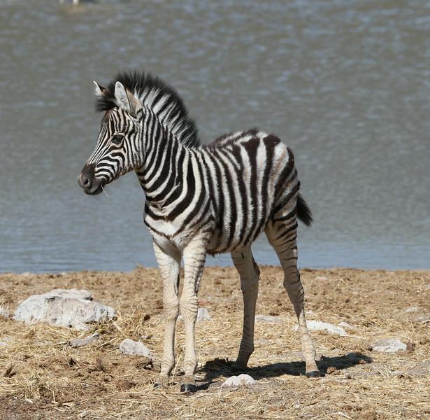 Zebra foal at Okaukuejo waterhole