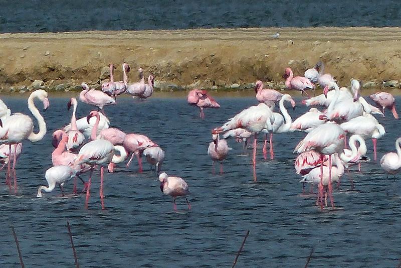 262 Flamingos, Road to Cape Cross, Namibia
