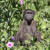 Baboon next to the Kunene River
