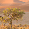 A Lanner Falcon perches in a tree among the dunes at Sossusvlei, Namib-Nauklift NP, Namibia.