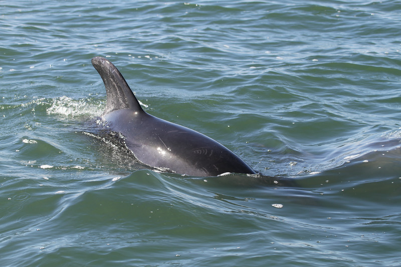 Atlantic Bottlenose Dolphins - following the boat