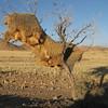 A huge communal nest of Sociable Weavers