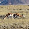 Springbok, Namib Desert