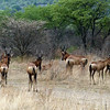 Red Hartebeest, Ongava Game Reserve