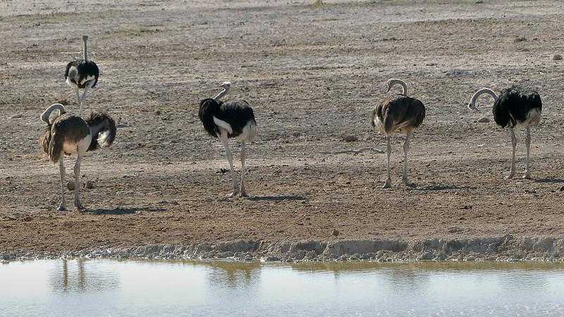559 Ostriches, Etosha National Park