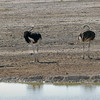 559 Ostriches, Etosha National Park