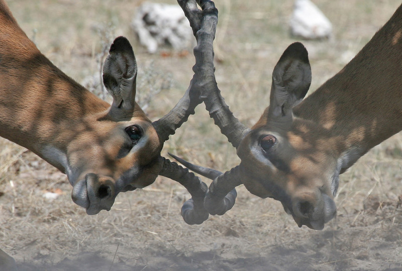 Black-faced Impala males spar-fighting