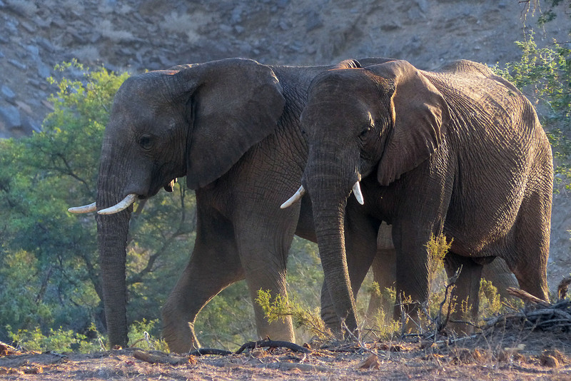 423 Desert Elephants, Damaraland