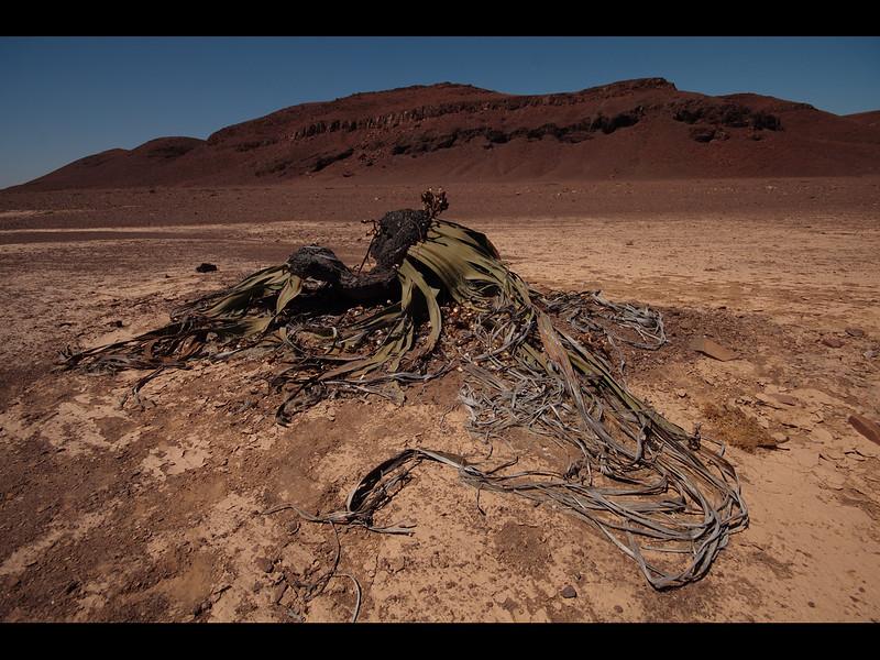 Welwitschia ( Namibis,national plant.)