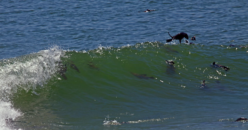 Cape fur seals surfing