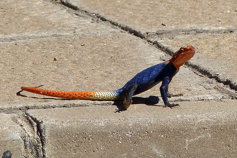 015 Rock Agama, Windhoek