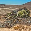 Welwitschia (Namibia,s national plant.)2
