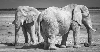 Dust-coated elephant bulls at waterhole, Etosha National Park