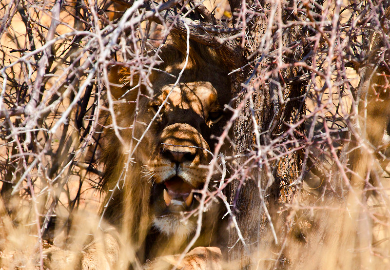 Lion in cover.