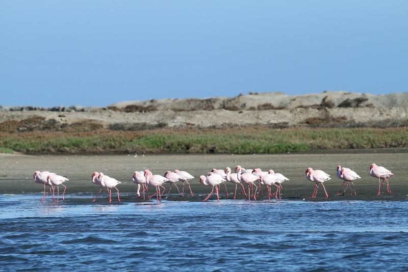 Greater Flamingos
