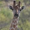 Giraffe near Etosha