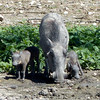 Warthogs, Anderssons Camp