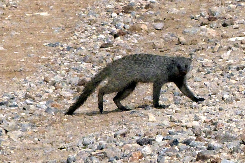 Mongoose, Ongava Game Reserve