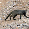 Mongoose, Ongava Game Reserve