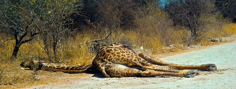 Dead  Giraff,  Lion kill.