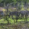 540 Zebras, Etosha National Park