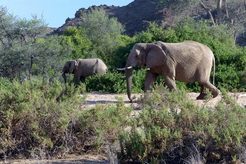 406 Dessert Elephants, Damaraland