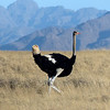 The first Ostrich, Namib Desert