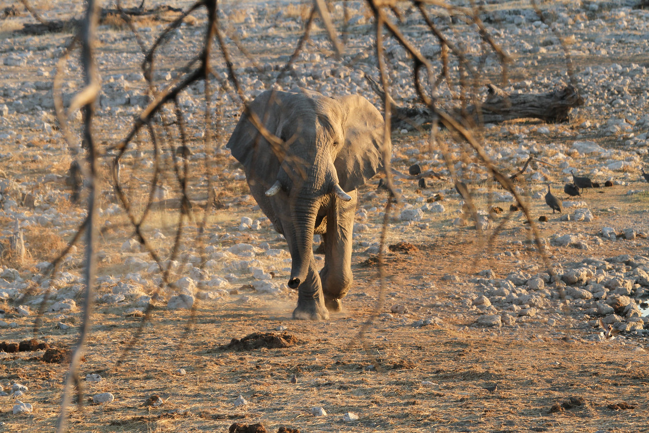 First Elephant arriving at Okaukuejo waterhole