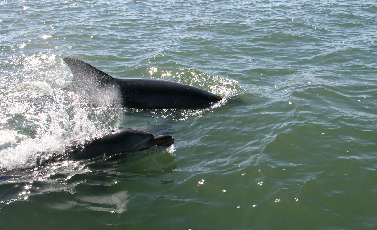 Atlantic Dolphins - coming up for air