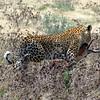 589 Leopard, Etosha National Park