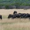 626 Wildebeest, Ongava Game Reserve