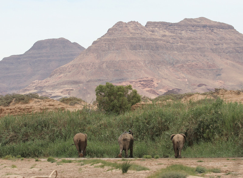 Desert-adapted Elephants in the Huab river bed in Damaraland