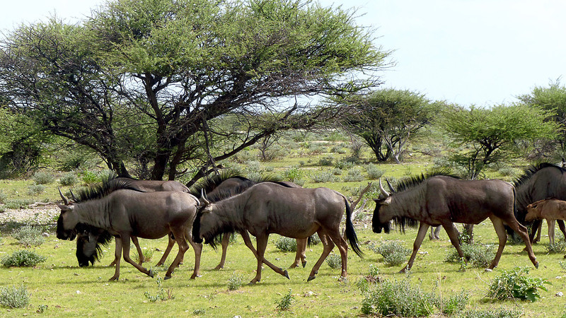609 Wildebeest, Etosha National Park