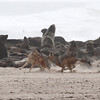Black-backed Jackals fighting over a Fur Seal pup carcass at Cape Frio