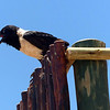 Pied crow at Kulala
