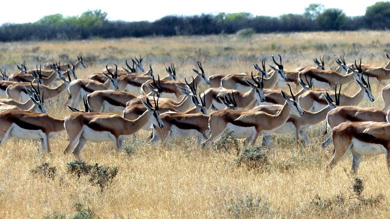 563 Springbok, Etosha National Park