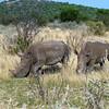 White Rhinos, Ongava