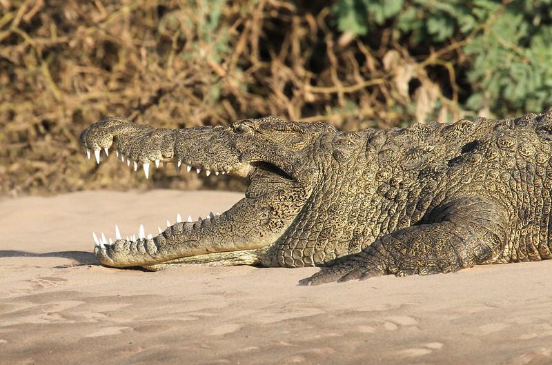 Nile crocodile on the Kunene River