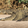 Nile crocodile on the Kunene River