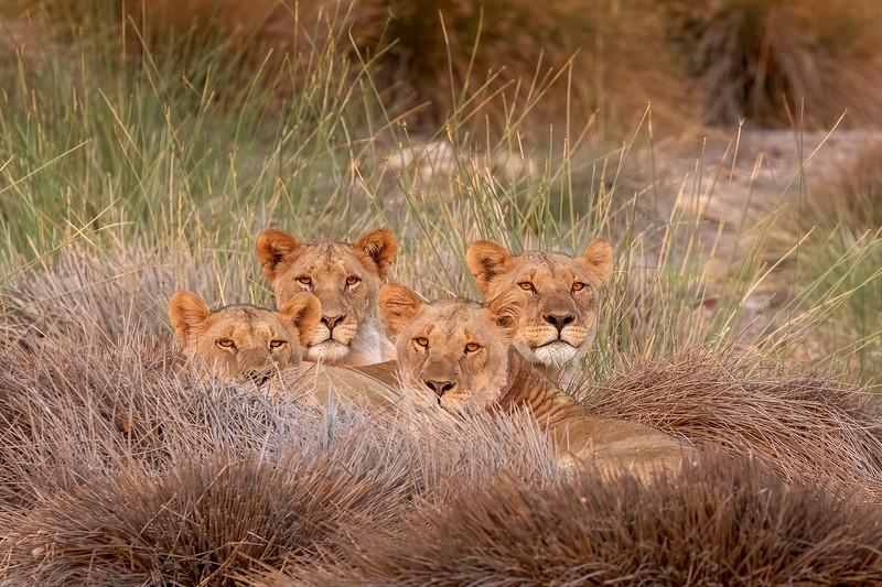 Lions 69A6665b.jpg