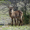 661 Waterbuck, Ongava Game Reserve