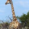 663 Giraffe, Ongava