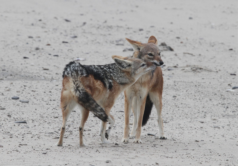 Black-backed Jackals at Cape Frio