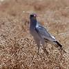 157 Goshawk, Sossusvlei Sand Dunes