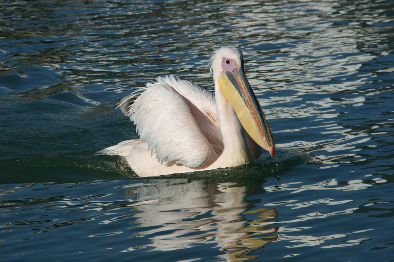 Greater White Pelican
