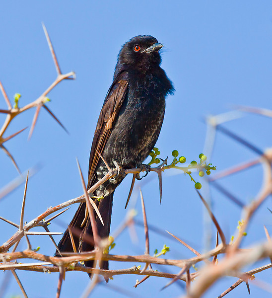Forked tailed Drongo.