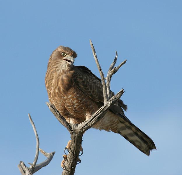 Juvenile Pale Chanting Goshawk, Ongava reserve