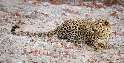 Leopard at Rietfontein waterhole, Etosha