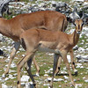 649 Impala, Ongava Game Reserve