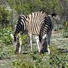 665 A coupla Zebras, Ongava